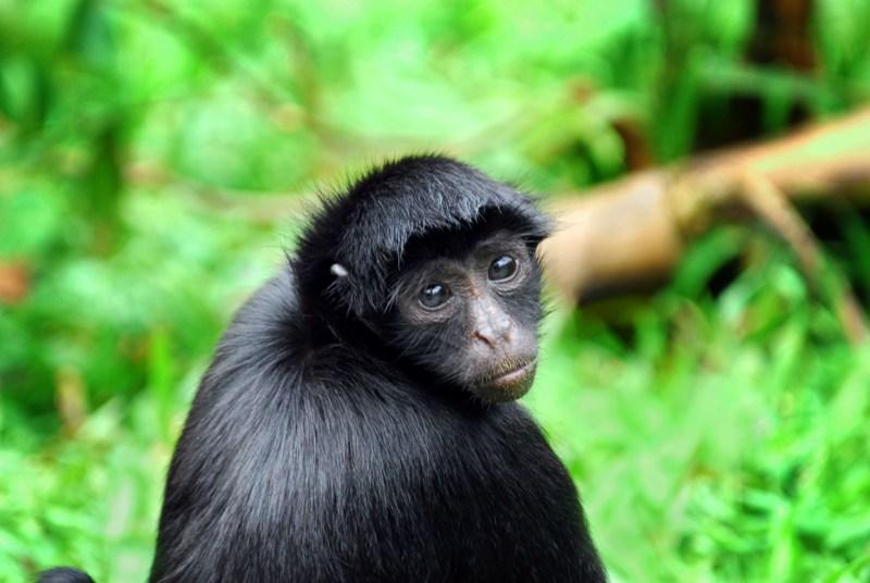 Black spider monkey - Low Resolution