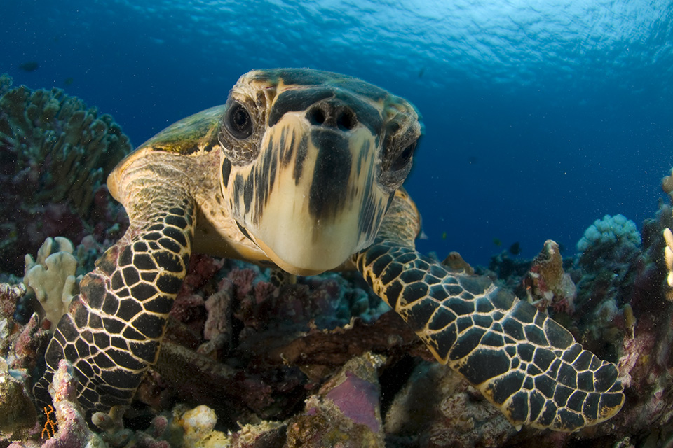 closeup of hawksbill turtle face, a good portrait