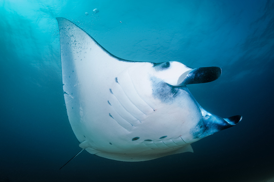 Reef Manta passing very close to us and showing its whole body