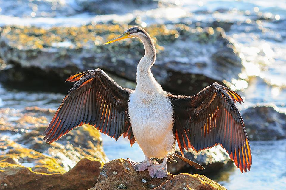 Bird (Oriental Darter), Sydney,Australia