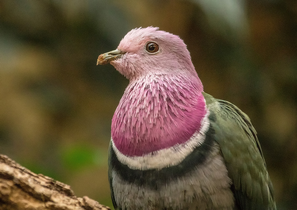 Close up of a pink-headed imperial pigeon