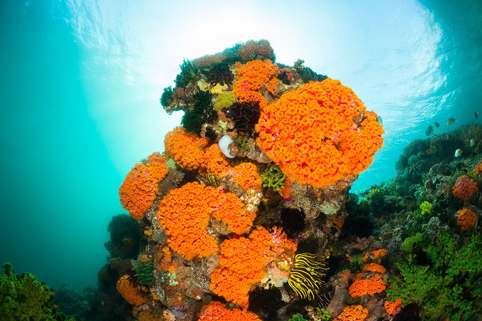 Sun Corals Tubastraea faulkneri and a lot of feather stars.